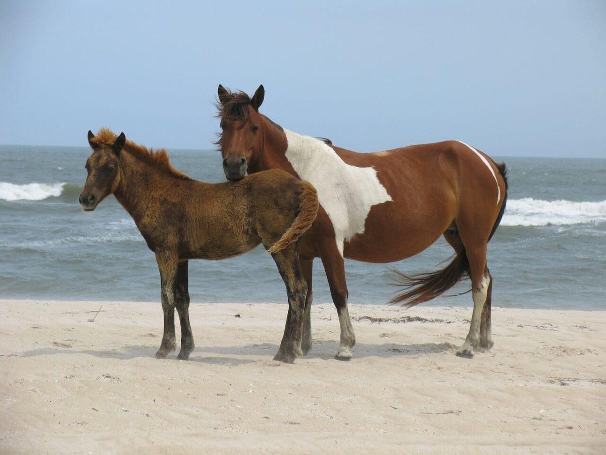 Wild Horses Pixabay Public Domain