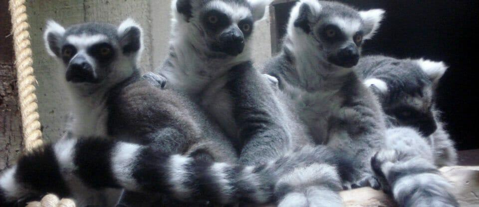 Ring-tailed_Lemurs_Cleaveland_zoo