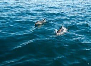 Banc de dauphins obscurs