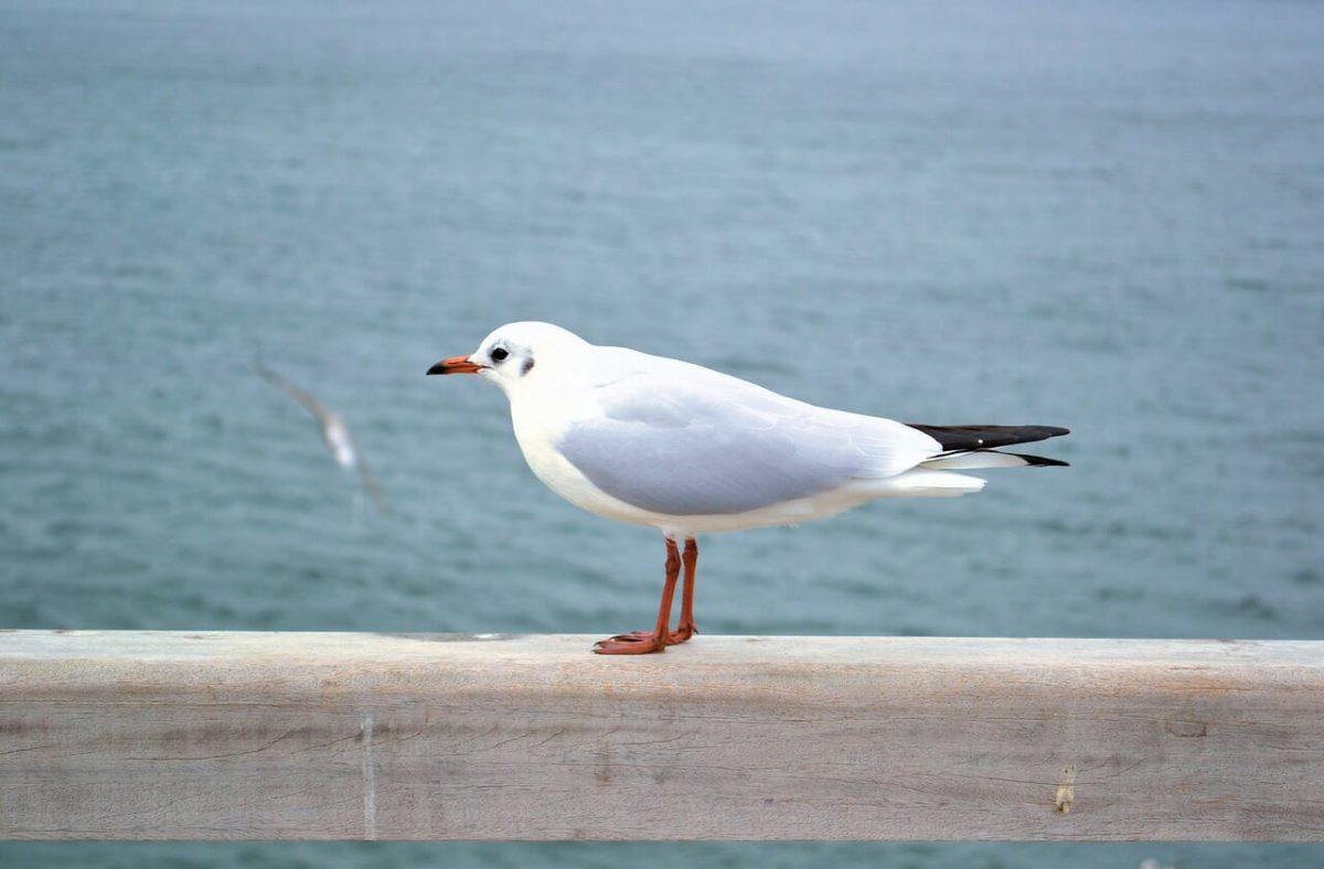 Waterfowl - Seagull