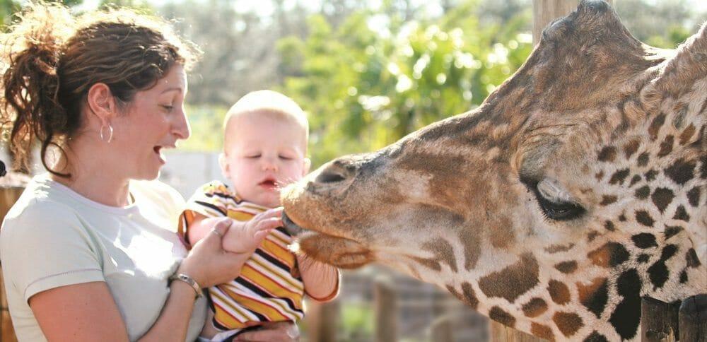 Tampa's Lowry Park Zoo_Giraffe Feeding