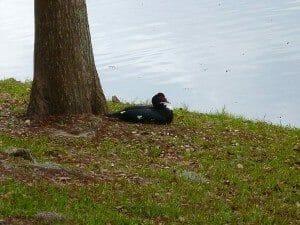 muscovy-duck-192734_1280