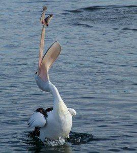 pelican-91141_1280