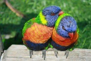 rainbow-lorikeet-334204_1280