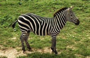 zebra-448361_1280