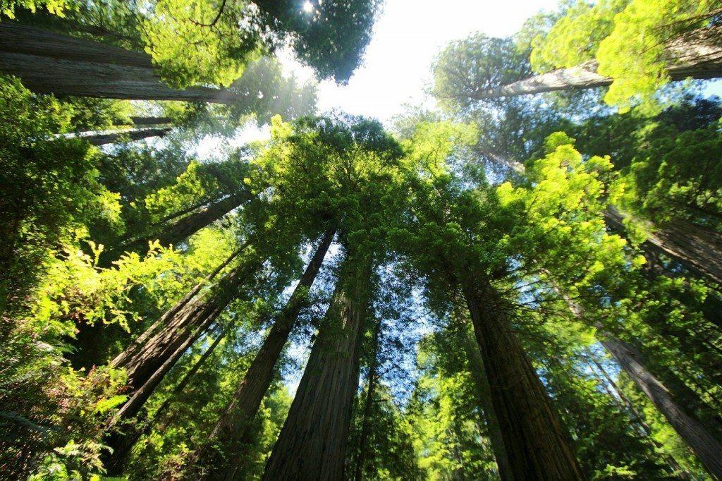sequoia-274158_1280