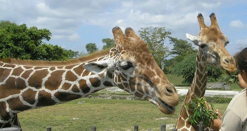 giraffes-69141_1920
