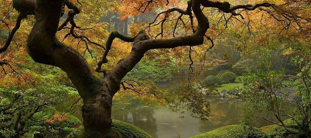 jap gardens tree