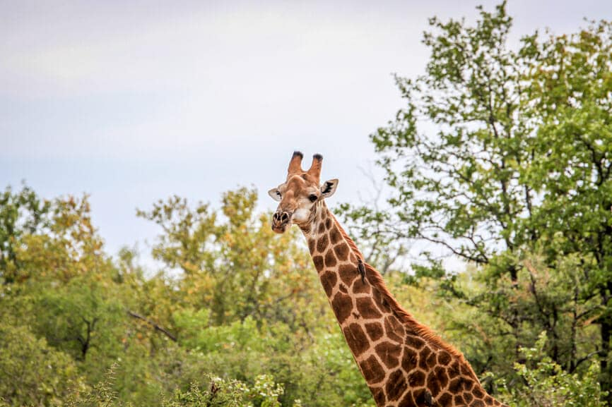 Giraffe starring at the camera in the Kruger National Park, South Africa.