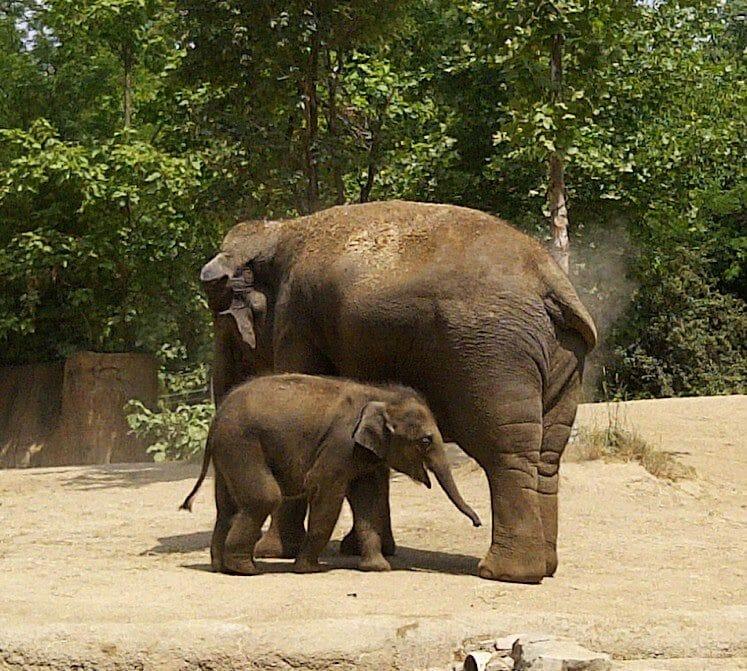 Elephants at St. Louis Zoo Credit Danielle Breshears