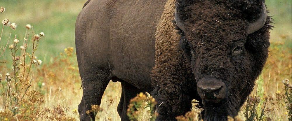 bison-526805_1280