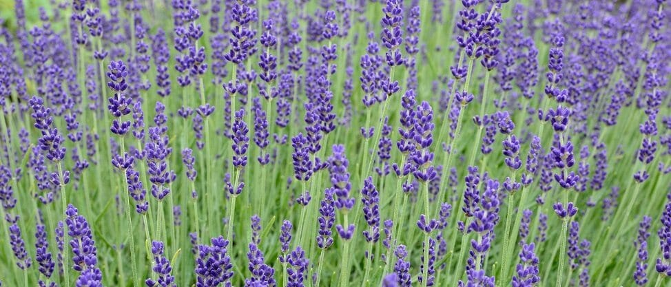lavender-813758_1920yall