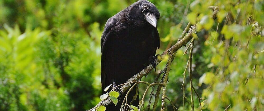 raven-812247_1280