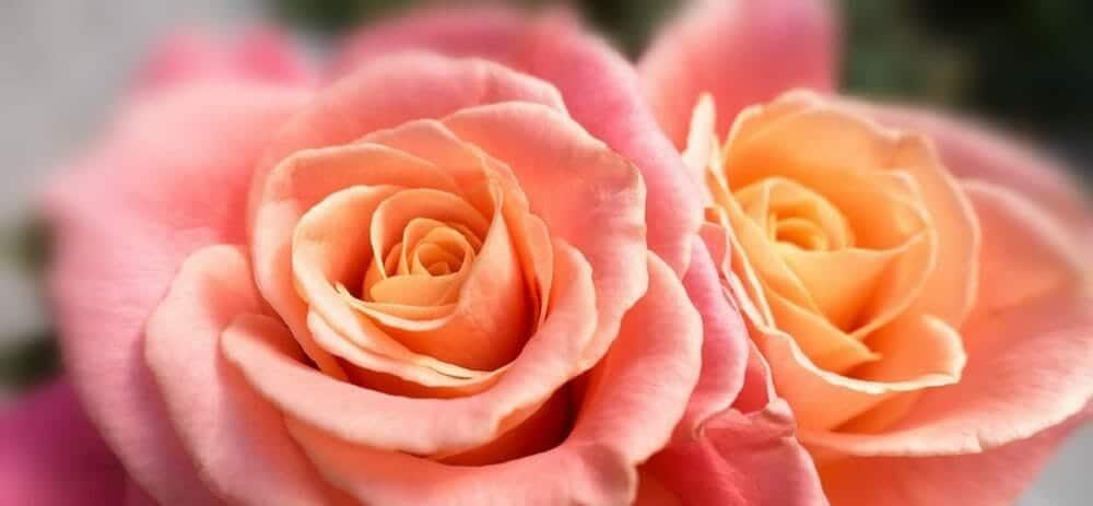 rose-1018450_960_720
