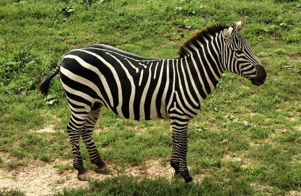 Zebra Pixabay PUblic Domain