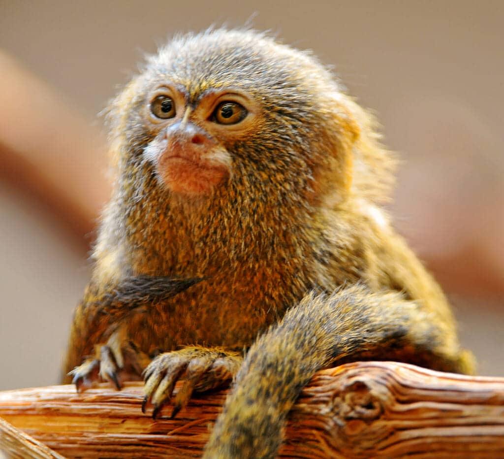 Pygmy Marmoset Santa Ana Zoo AST