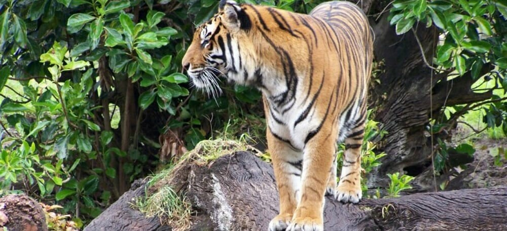 Tiger at Zoo Pixabay Public Domain