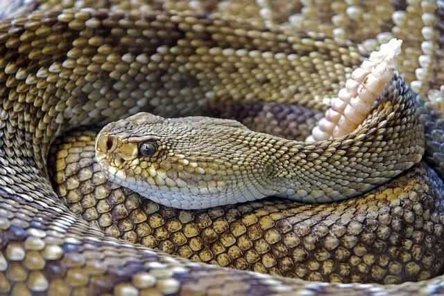 American Rattlesnake Museum