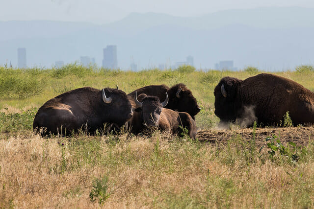 U.S. Fish and Wildlife Service Headquarters Follow Bison at Rocky Mountain Arsenal National Wildlife Refuge