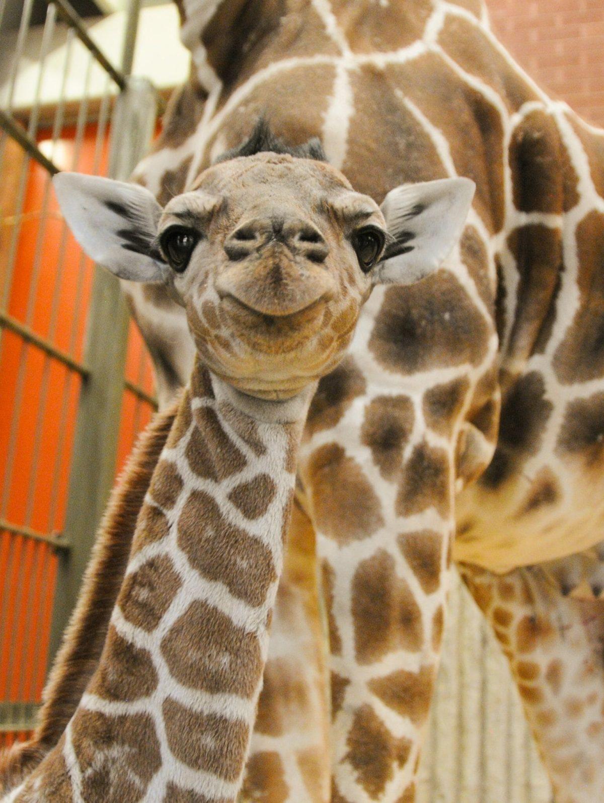 Dobby, reticulated giraffe Born: February 28, 2017 Credit Denver Zoo