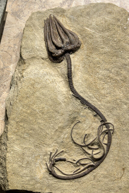 Chuck Sutherland Agaricocrinites sp. fossil, McClung Museum, Knoxville, Tennessee