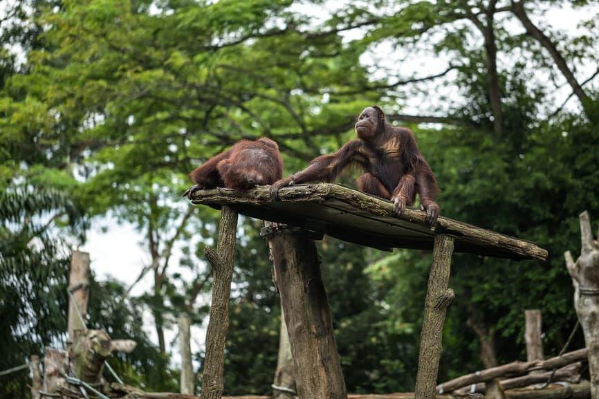 Two brown gibbon monkeys sit on the wooden platform.